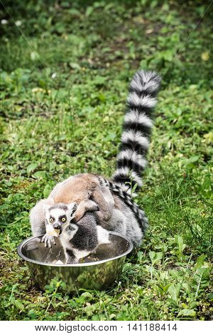 Ring-tailed lemur - Lemur catta - with cub are fed from the bowl. Animal scene. Beauty in nature. Humorous photo.