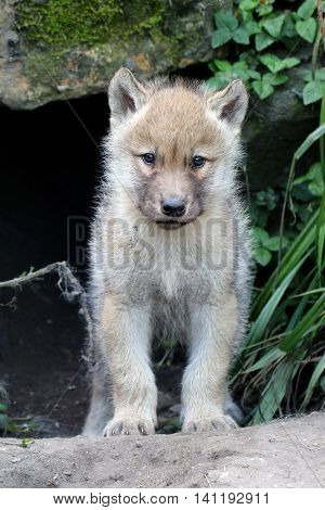A cute wolf pup in front of his nest