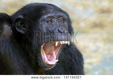 A male chimpanzee with his mouth wide open
