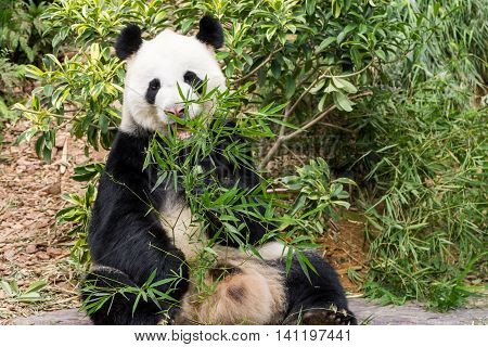 Panda bear eating bamboo tree seen in singapore