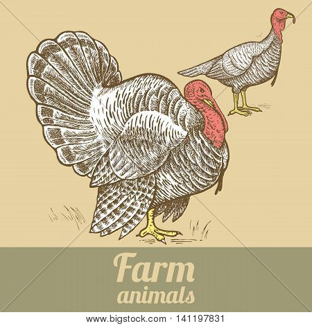 Couple turkey. Vector illustration of a series - farm birds isolated. Poultry colored print. Style vintage engraving. Template for creating packaging design farm products signage natural food stores.