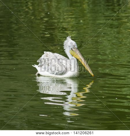 Spot-billed or grey pelican Pelecanus philippensis swimming in the pond with waved reflection close-up portrait selective focus shallow DOF