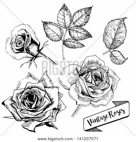 Vector set of roses. Hand drawn vintage art. Floral burgeons in engraved style. Good for tattoos designs textile and other art.