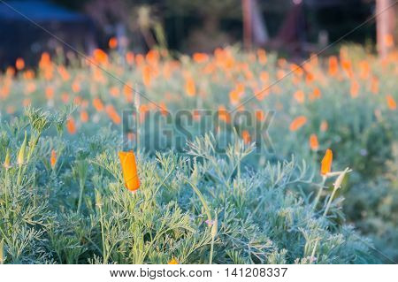 Field of California poppies (Eschscholzia californica) the state flower of california