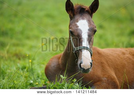 Adorable foal lying on grass summer time