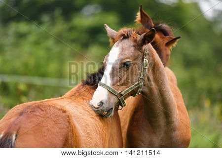 Two foal scratching each other in a meadow summer time