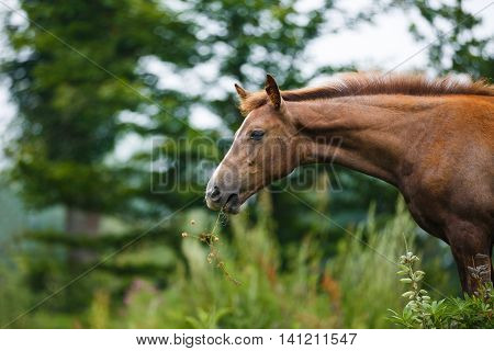 Foal grazing in a meadow at summer time