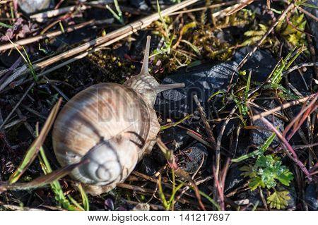 Roman snail Burgundy Snail lat Helix pomatia is a edible snail.