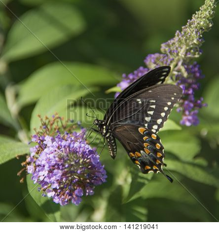 A Spicebush Swallowtail (Papilio Troilus), feeding on nectar from a Butterfly Bush in Carroll County Maryland, USA.