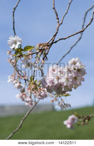 japanese cherry blossom (Forest of Flowers)