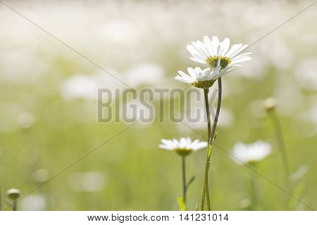 in the field growing three daisy as the family concept plot