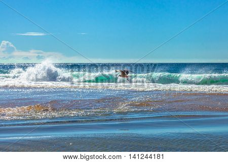 Seagull flying over the waves of Garie Beach in a summer sunny day, Royal National Park coastline, New South Wales, Sydney, Australia.