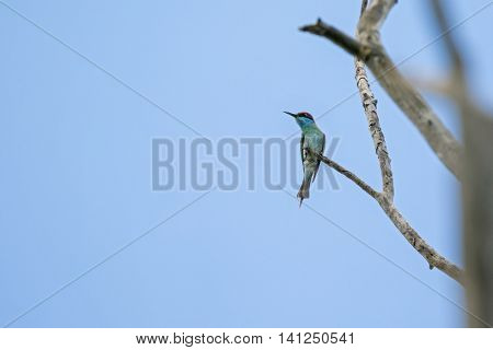 Blue-throated Bee-eater perching on tree branch during summer in Thailand (Merops viridis)