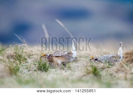 Sharp-tailed Grouse (tympanuchus Phasianellus)