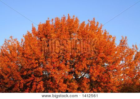 Orange Maple Against A Blue Sky