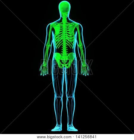 3D illustration and 3d render human skeleton performs six major functions; support, movement, protection, production of blood cells, storage of minerals and endocrine regulation.