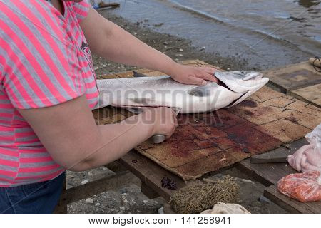 Fisherman dressing salmon at the bank of sea