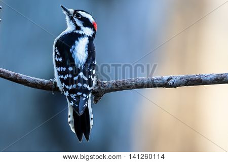 A downy woodpecker sitting perched on a branck.