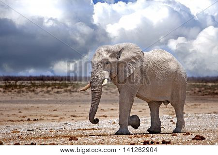 A lone elephant walking across the dry plains in Etosha national park with a cloudy sky