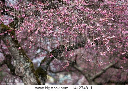 Blooming whitcomb cherry in spring for background