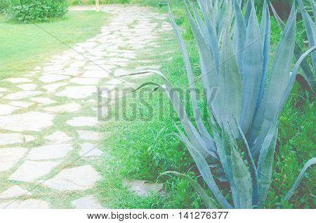 The beautiful blue-green of an agave cactus in Turkey. Big blue agave plant in garden. Tequila. Blue Agave plant in landscaping.