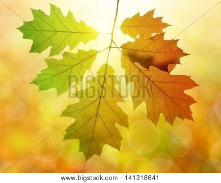 Autumn leaves of oak tree