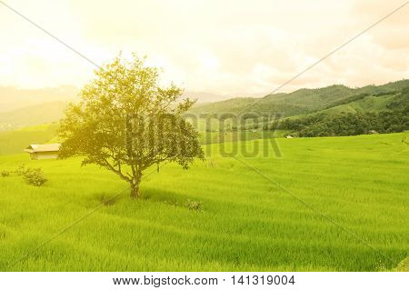 green Rice fields on terraced in Thailand, rice field or rice terraces in the mountain and travel place for relax and feeling nice, rice field in the nature and nature background for presentation.