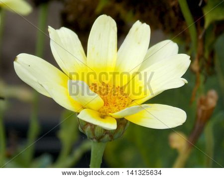 Photo detail of light yellow flower with grass in background