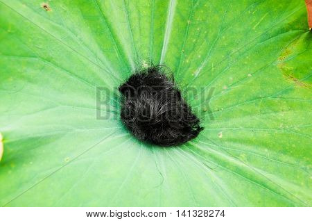 Hair in a lotus leaf - to be a monk hair cut before be a monk in Buddhism ordination ceremony