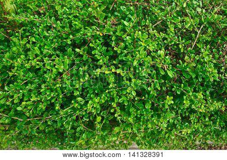 Fukien Tea leafs pattern in the garden