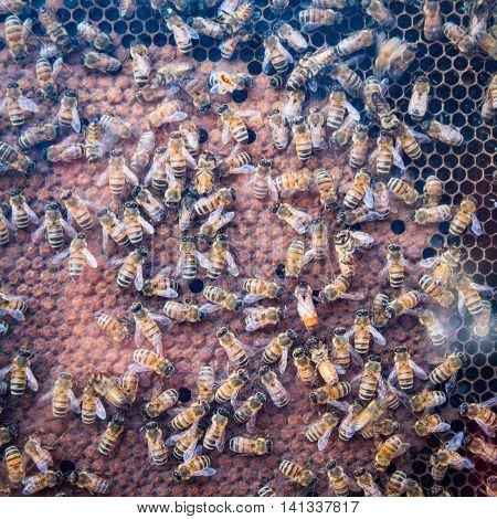 Beehive and bees showing in a glass case.