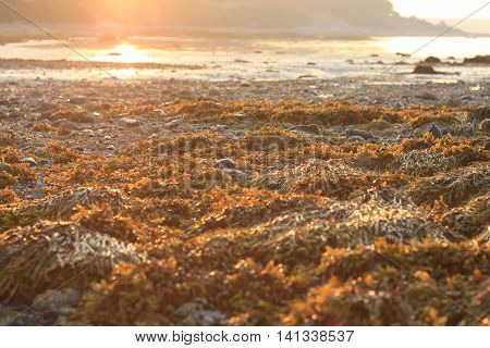 Seaweed called Bladderwrack (Fucus vesiculosus) in the foreground in Maine as the sun rises along the horizon