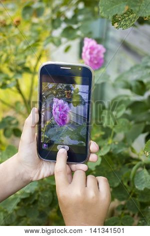 Child using hand takes pictures on cellphone red rose at sunset on the background of greenery
