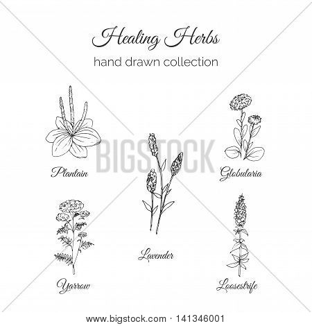 Holistic Medicine. Healing Herbs Illustration. Handdrawn Plantain, Lavender, Globularia, Loosestrife and Yarrow. Health and Nature collection. Vector Ayurvedic Herb. Herbal Natural Supplements. Organic plants.