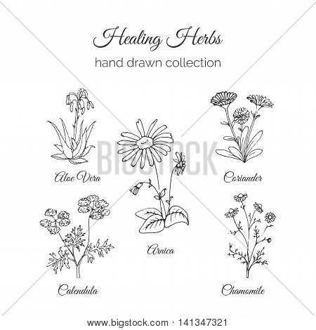 Holistic Medicine. Healing Herbs Illustration. Handdrawn Aloe vera, Arnica, Calendula, Chamomile and Coriander. Health and Nature collection. Vector Ayurvedic Herb. Herbal Natural Supplements. Organic plants.
