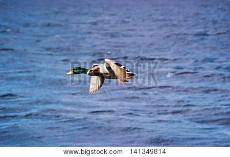 Duck male flying in Loch Ness in Scotland. Loch Ness is a city in the Highlands in Scotland in the United Kingdom.
