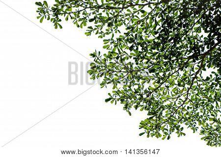 Green leaves of Terminalia ivorensis tree on white background