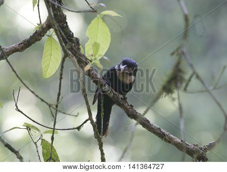 Beautiful of Black bird, Beautiful of Broadbill, Dusky broadbill ( Corydon sumatranus )