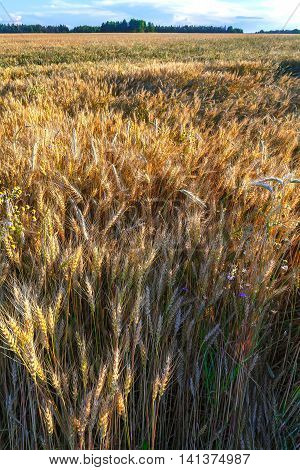 Sown field of wheat sunset and traveling about the ears of Golden color.
