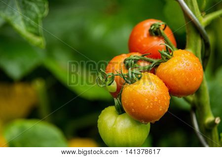Green and red fresh tomatoes on the bush with raindrops. Agriculture concept. The concept of a diet program. Detoxification concept