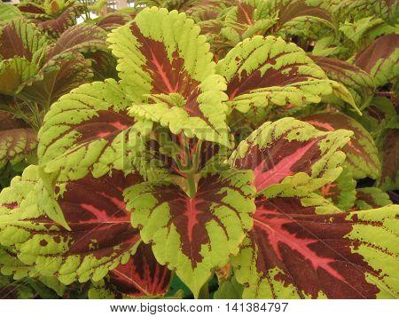 Cóleo. PLanta con vivos colores y hojas hermosas.