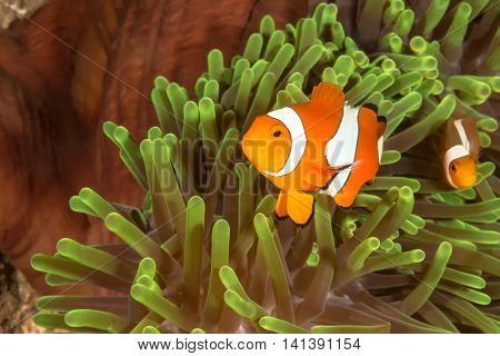 The underwater picture of Clow Anemone Fish