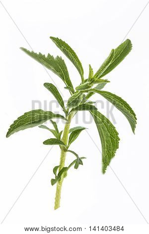 Summer fresh stalk of savory Satureja hortensis fresh stalk