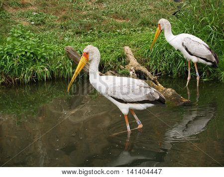 Yellow-billed storks hunting in the water - Mycteria ibis