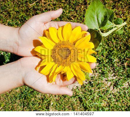 Ripe sunflower in hand. Nature landscape. Nature background