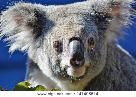 BRISBANE AUSTRALIA - AUGUST 2016: Koala Close Up on August 1 2016 Brisbane Australia.