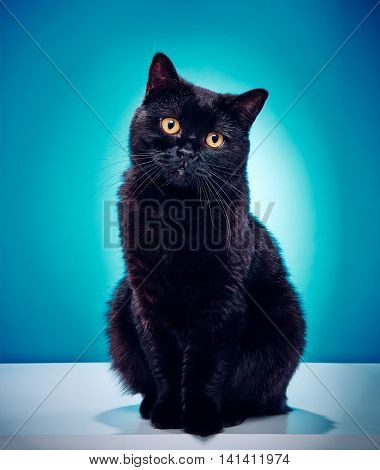 Innocent Black Cat