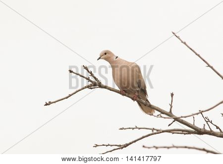 Eurasian Collared Dove up in an Oak tree against cloudy skies