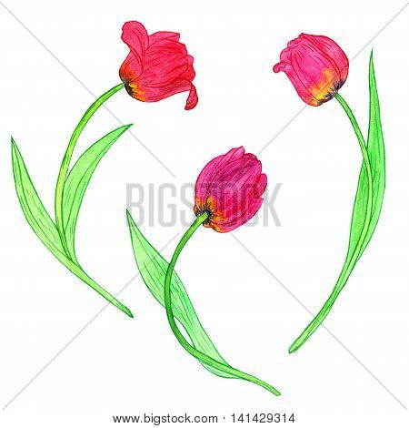 watercoolor drawing red tulips isolated at white background, painting flowers, hand drawn illustration