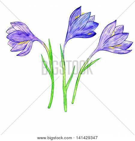 watercoolor drawing crocuses isolated at white background, painting flowers, hand drawn illustration